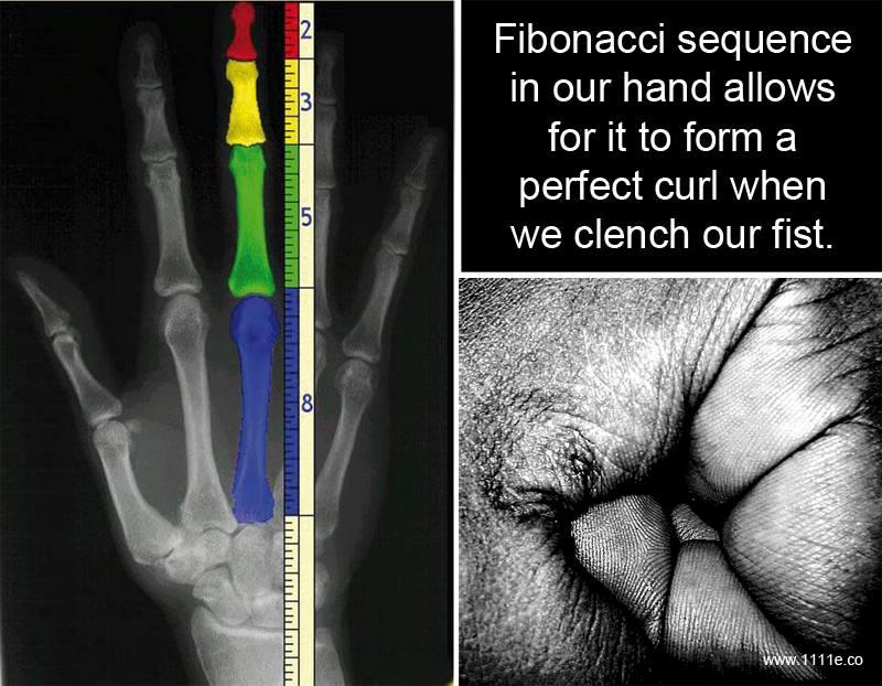 Fibonacci sequence in the hand